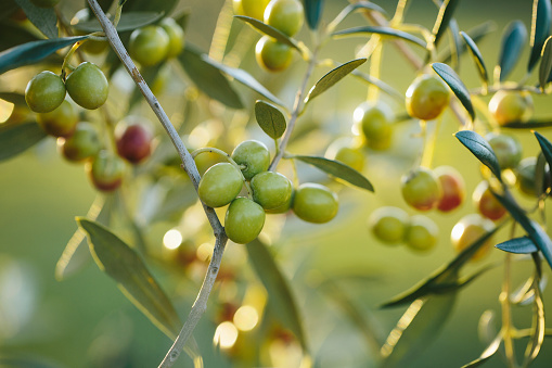 Arbequina olive branches close up