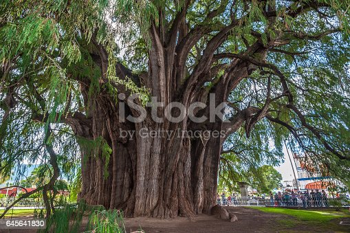 istock Arbol del Tule, a giant sacred tree in Tule, Mexico 645641830