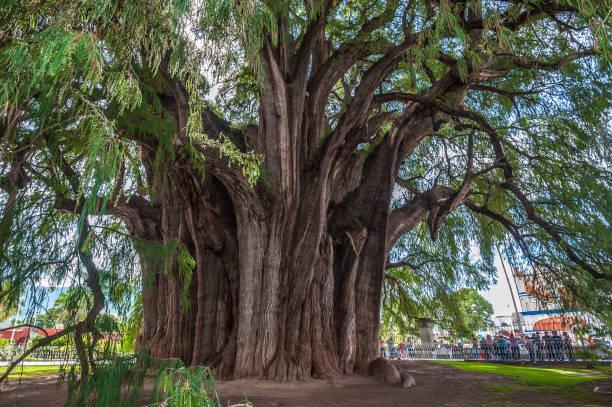 Arbol del Tule, a giant sacred tree in Tule, Mexico stock photo