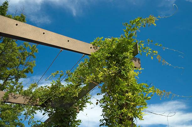 Arbor of Hydrangea stock photo