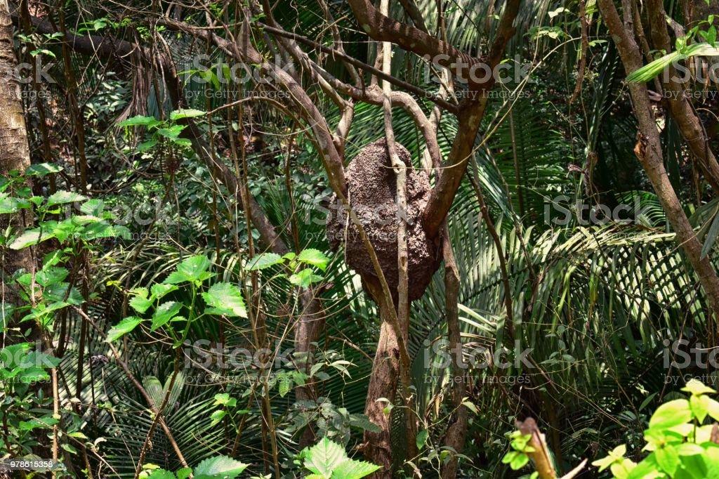 Arboreal (in tree) aerial termite nest in El Eden, Puerto Vallarta Jungle pathway in Macro, detailed view in Mexico stock photo