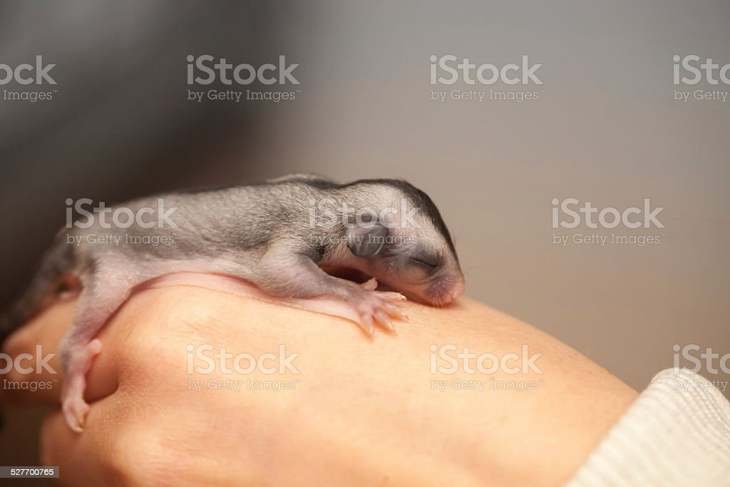 Arboreal gliding possum lays on hand stock photo