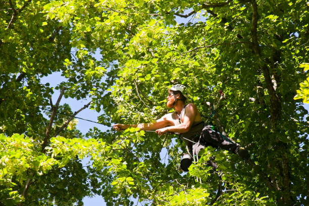Arborist climbing from tree to tree stock photo