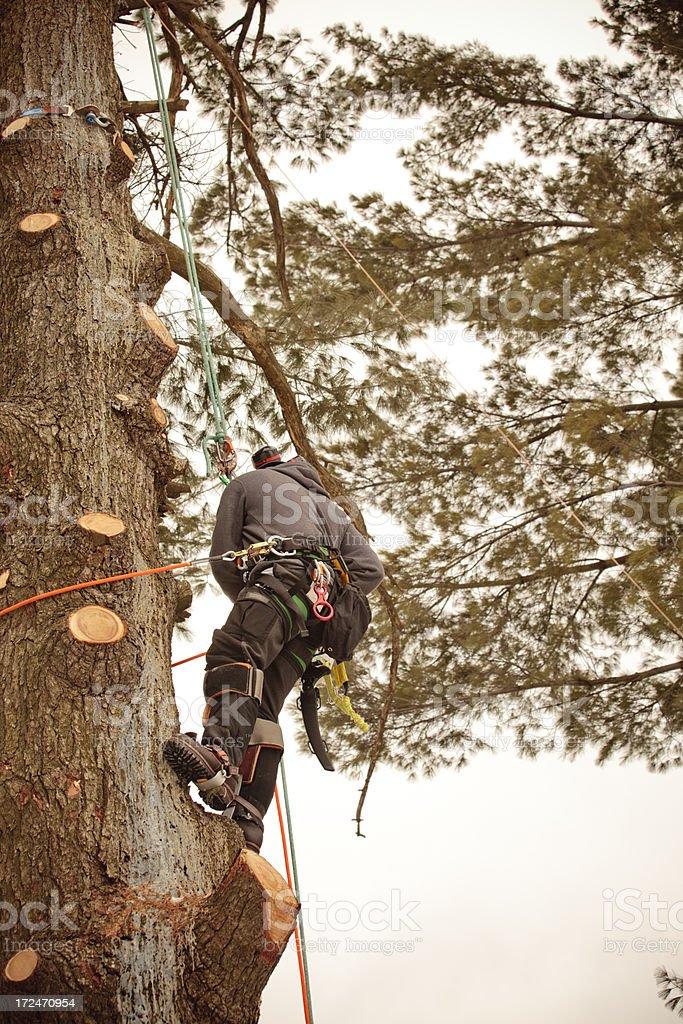 Arborist climbing tree royalty-free stock photo