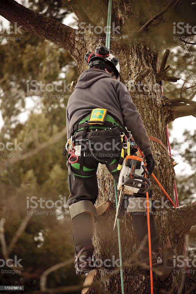 Arborist climbing tree stock photo
