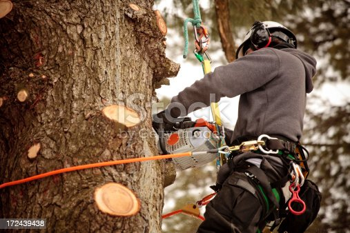 Arborist cutting branches with chainsaw. Action shot, visible saw dust.
