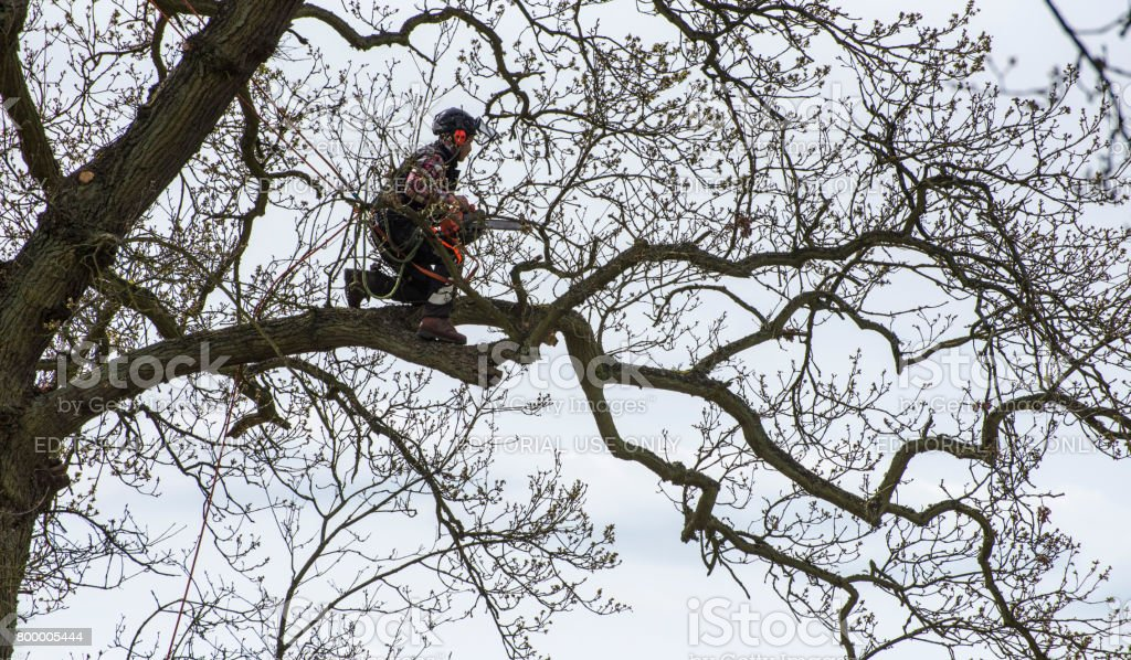 Arborist kneeling on tree branch about to begin a trim. stock photo