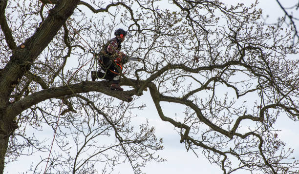 arborist kneeling on tree branch about to begin a trim. - tree surgeon stock photos and pictures