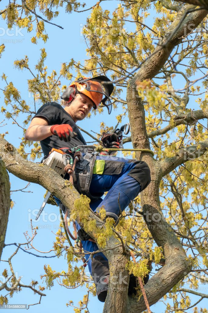 Arborist Roped Up A Tree Stock Photo Download Image Now Istock