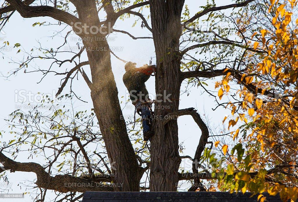 Arborist, tree surgeon topping tree with chain saw stock photo