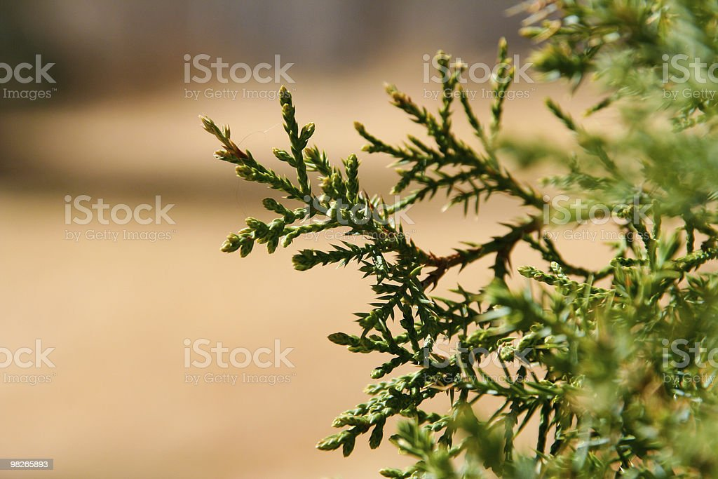 Arborvitae close up with copy space royalty-free stock photo