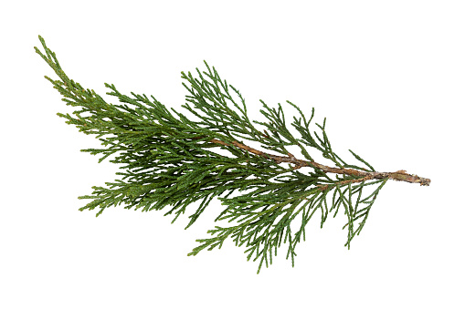 Arborvitae leaves isolated on a white background