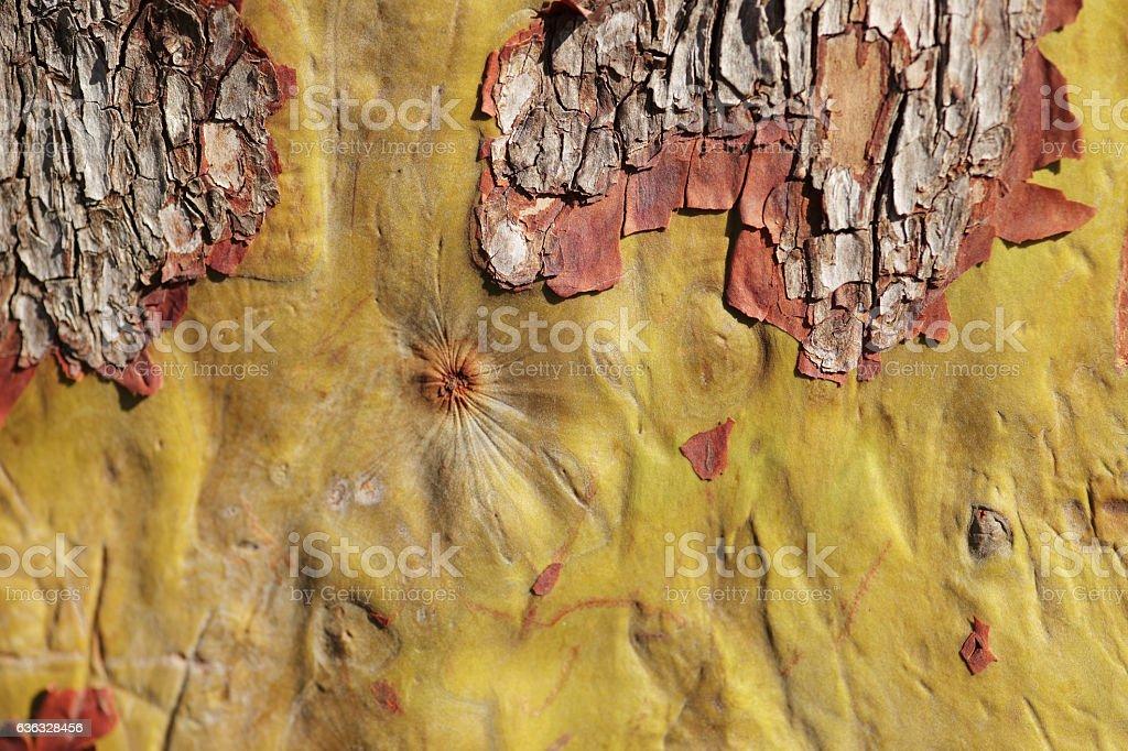 Arbutus tree bark close up stock photo