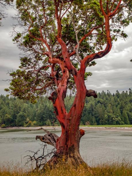 Arbutus Tree stock photo