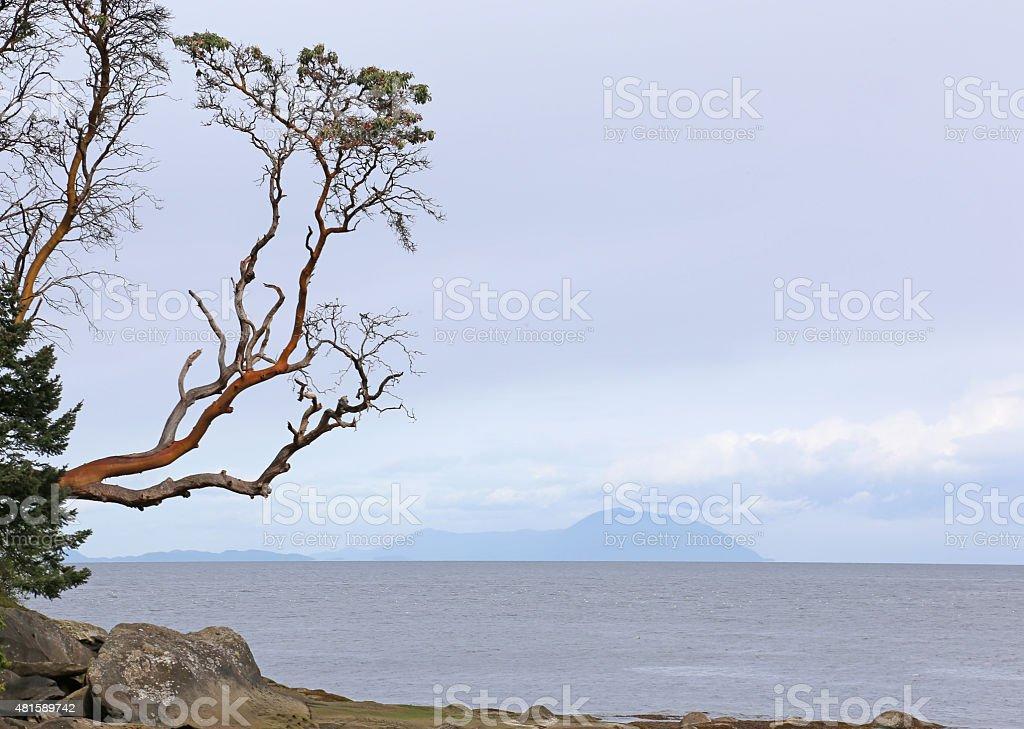 Arbutus Tree Reaching Out stock photo