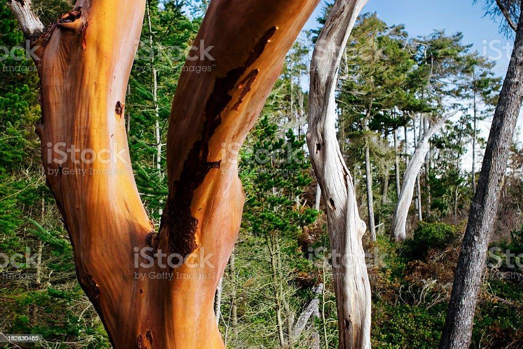 arbutus trees stock photo
