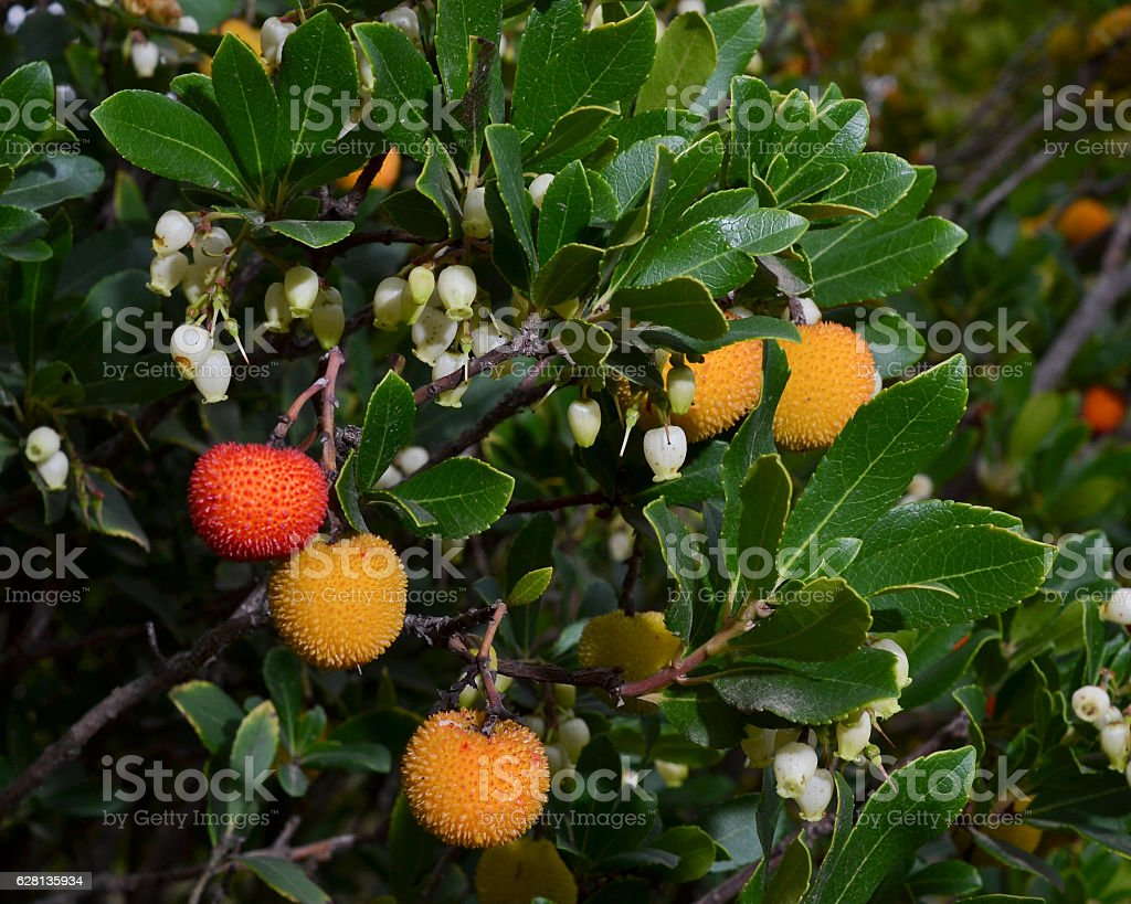 Arbutus unedo (strawberry tree) fruits, leaves and flowers stock photo