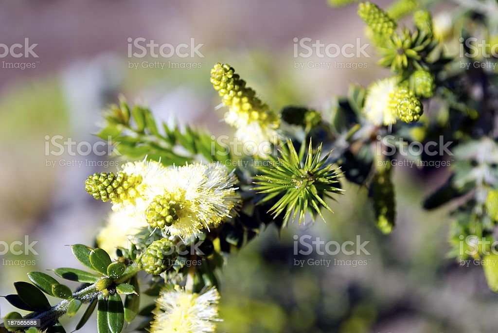 Arcacia or Wattle in Blossom royalty-free stock photo