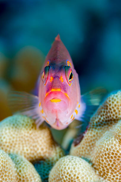 Arc-eye Hawkfish Paracirrhites arcatus Looking Out From His Coral Seat, Big Island, Hawaii stock photo