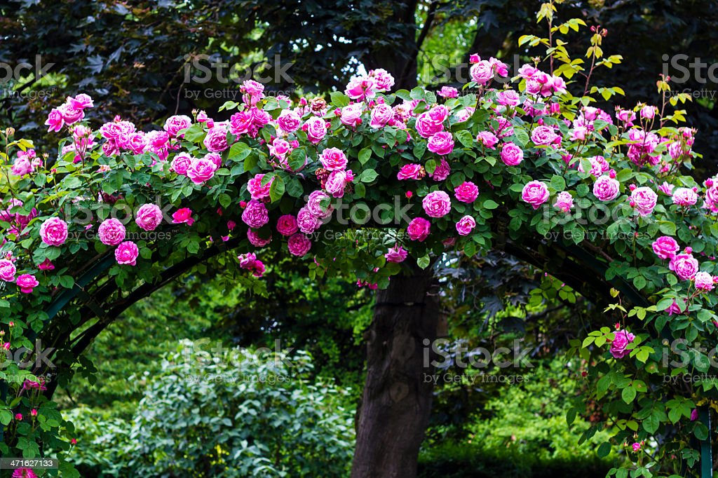 Arch of pink roses stock photo
