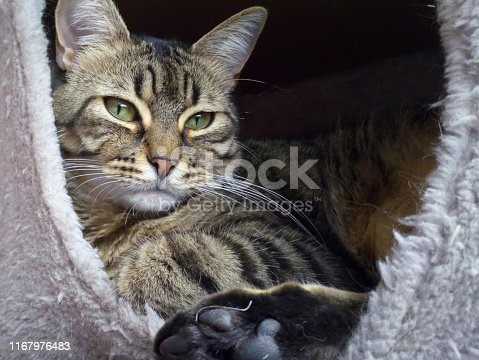 Adorable male tabby named Archer