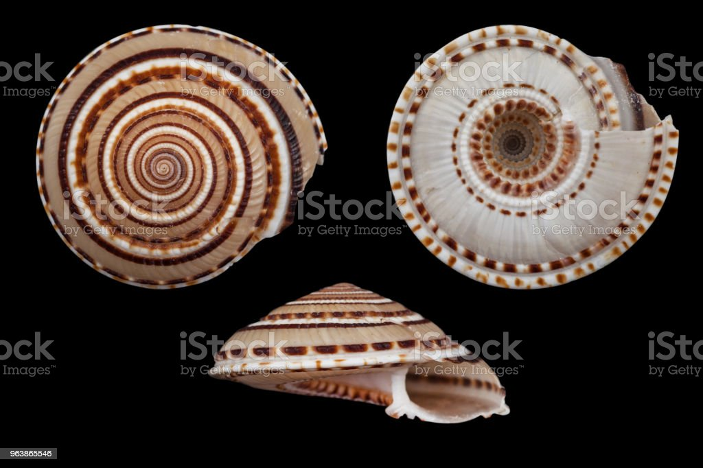Architectonica perspectiva/perspective sundial shell - Royalty-free Animal Shell Stock Photo