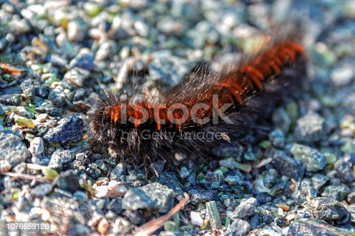 Caterpillar of the garden tiger moth or great tiger moth on a close up horizontal picture in its natural habitat.