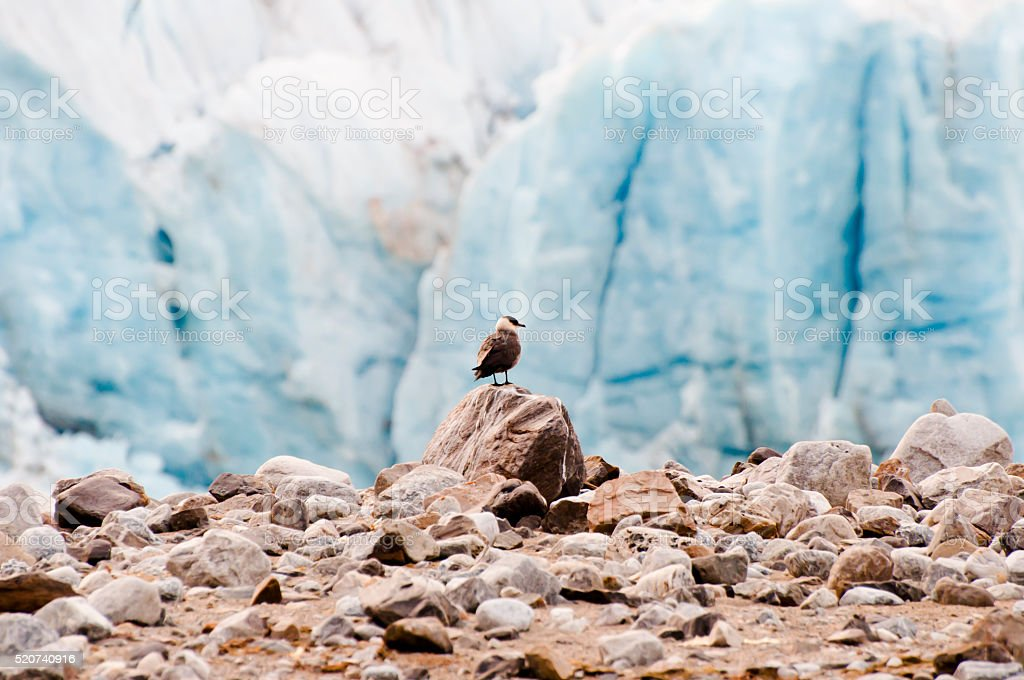 Arctic Bird near July 14 Glacier - Spitsbergen - Svalbard stock photo