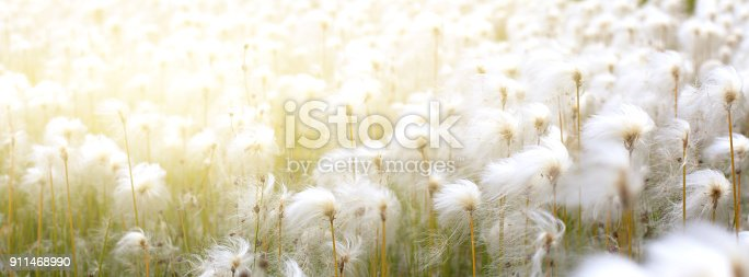 istock Arctic Cotton Grass in Iceland 911468990