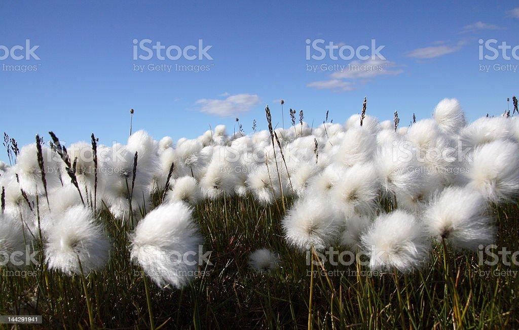 Arctic Cotton Grass stock photo