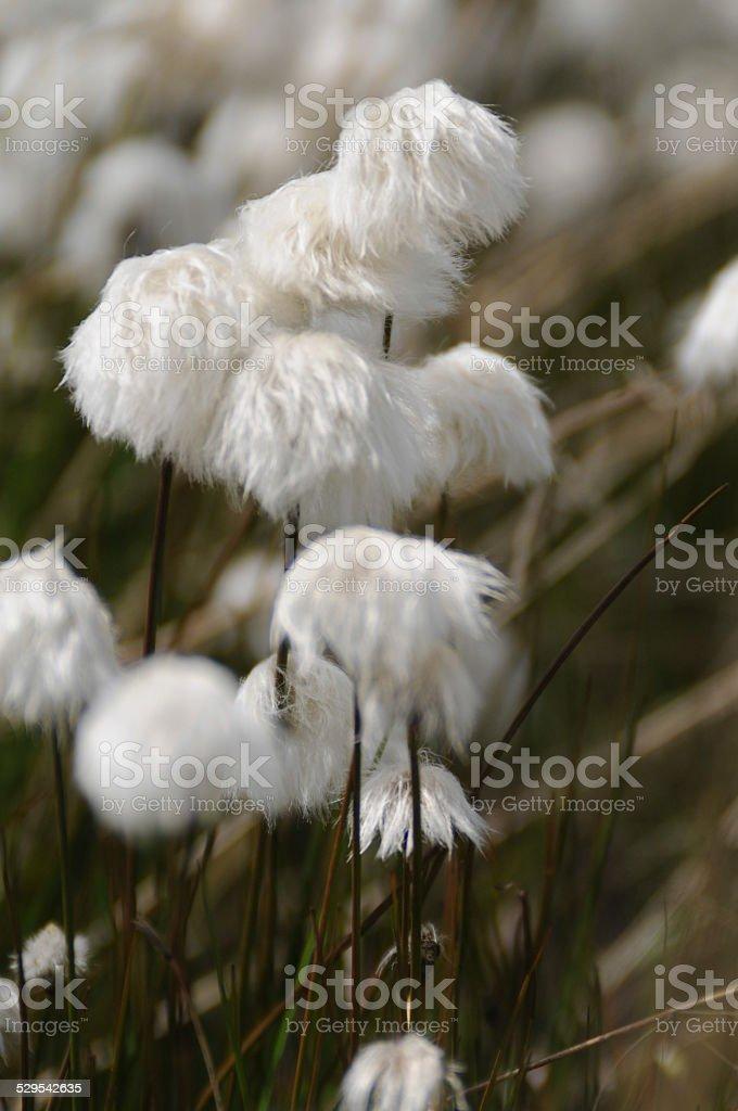 Arctic Cotton Grass (Eriophorum) stock photo