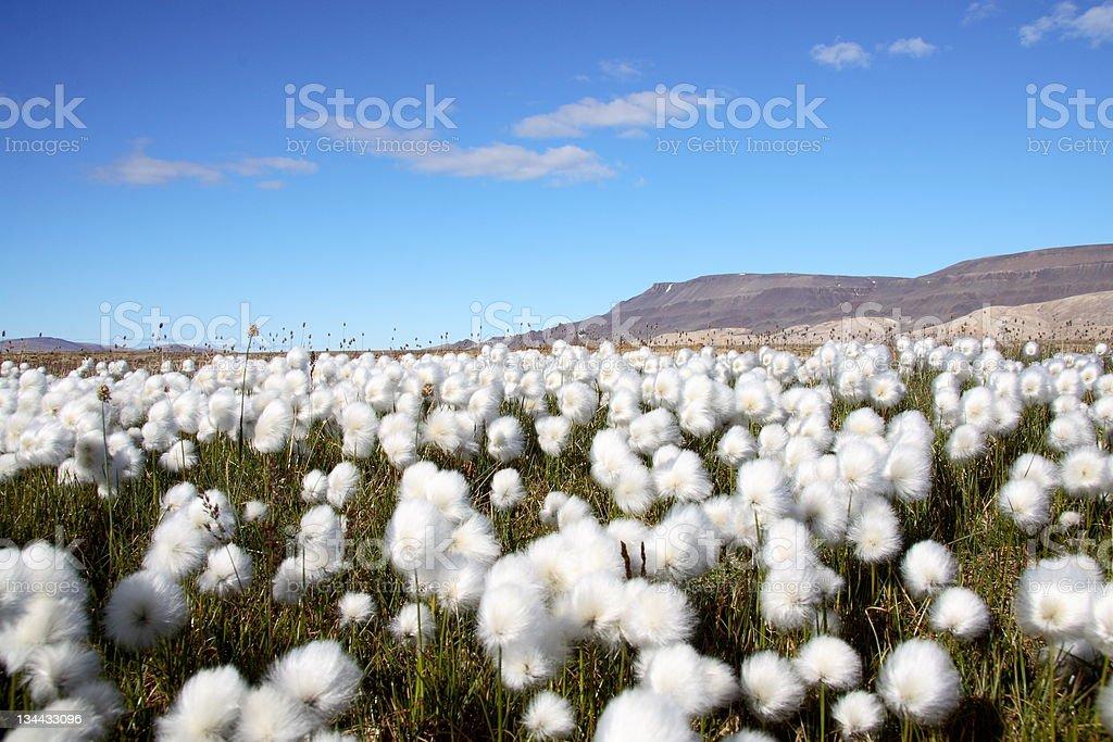 Arctic cotton grass scene with stems stock photo