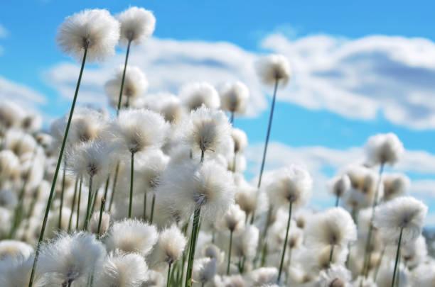 Arctic cotton stock photo