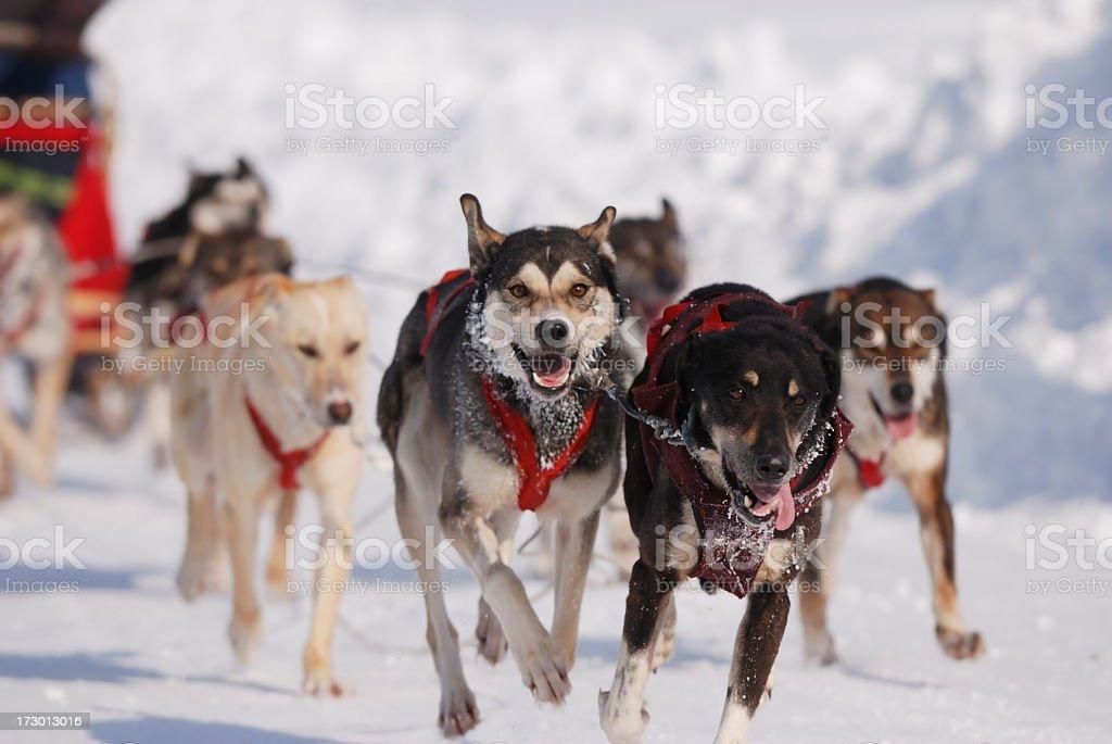 Arctic Dog Sled Racing, Yellowknife. stock photo