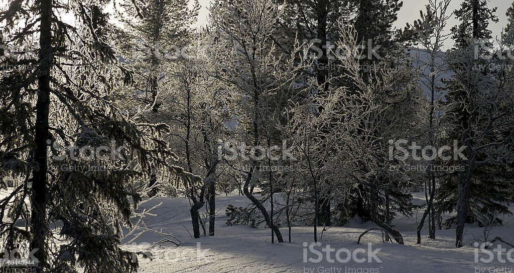 Arctic Forest with Dappled Sunlight 免版稅 stock photo