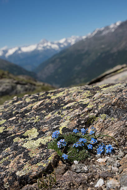 Arctic forget-me-not – Foto