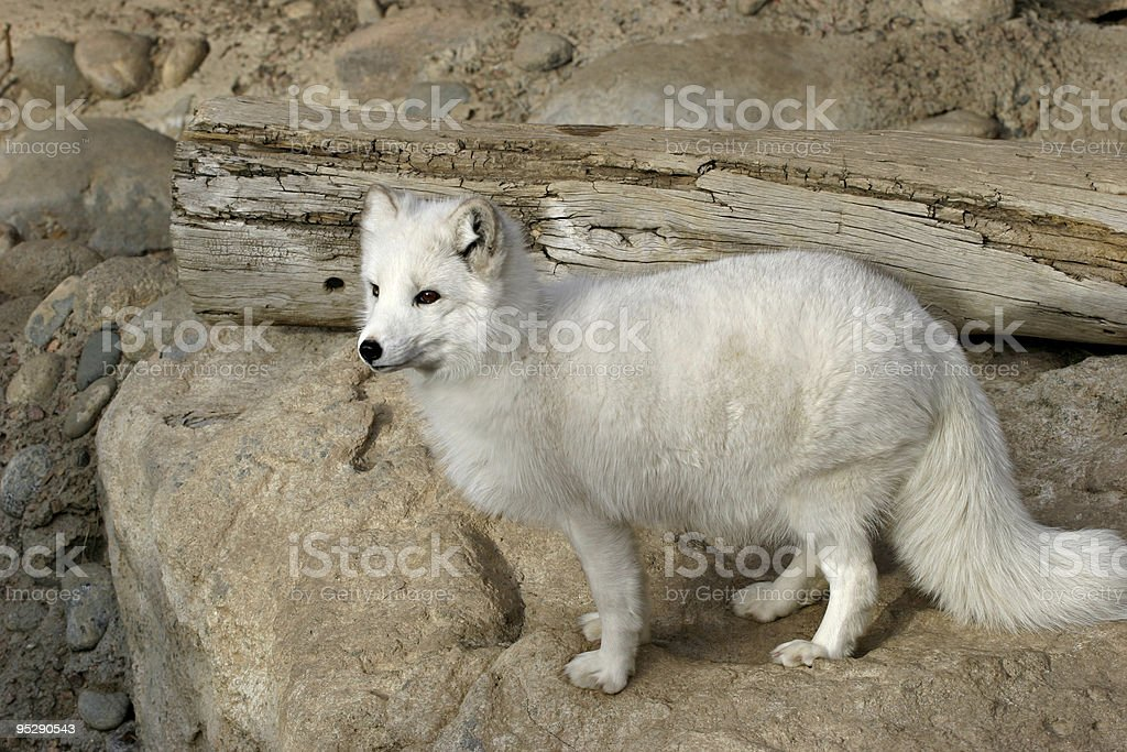 Arctic Fox (Alopex lagopus) At The Zoo royalty-free stock photo