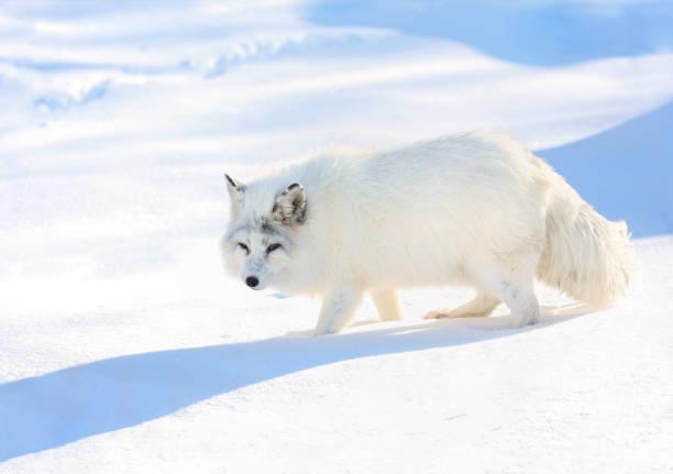 arctic fox during winter - raposa ártica imagens e fotografias de stock