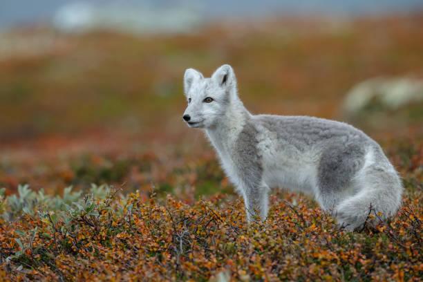 arctic fox in a autumn coloured norwegian landscape - raposa ártica imagens e fotografias de stock