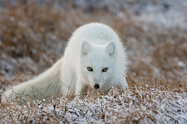 raposa ártica no alasca - raposa ártica imagens e fotografias de stock