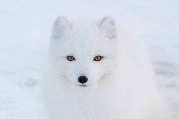 arctic fox in canada - raposa ártica imagens e fotografias de stock