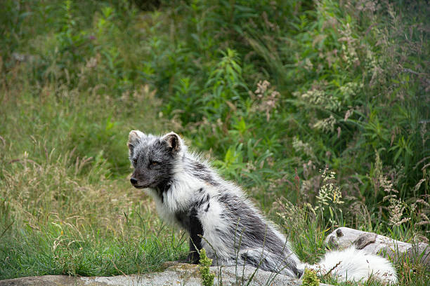 Arctic Fox in change of coat stock photo