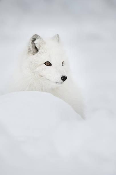 raposa ártica na neve profunda. - raposa ártica imagens e fotografias de stock
