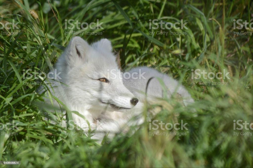 Arctic Fox In Green Grass stock photo