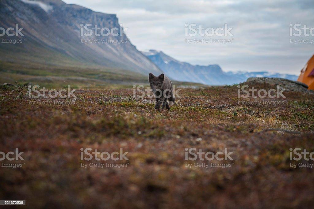 Arctic fox in Greenland stock photo