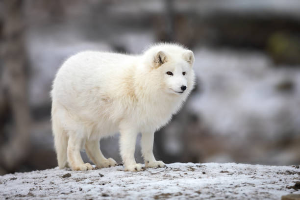 arctic fox in white winter coat standing on a large rock - raposa ártica imagens e fotografias de stock
