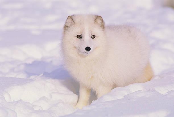 raposa ártica no inverno - raposa ártica imagens e fotografias de stock
