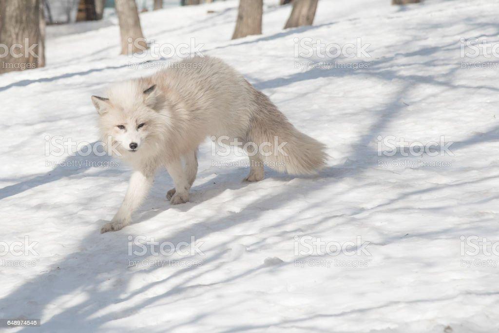 arctic fox in winter season stock photo