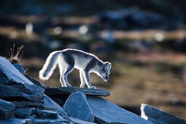 raposa ártica está de pé sobre uma rocha - raposa ártica imagens e fotografias de stock