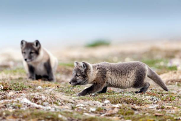arctic fox kit playing at stalking - raposa ártica imagens e fotografias de stock